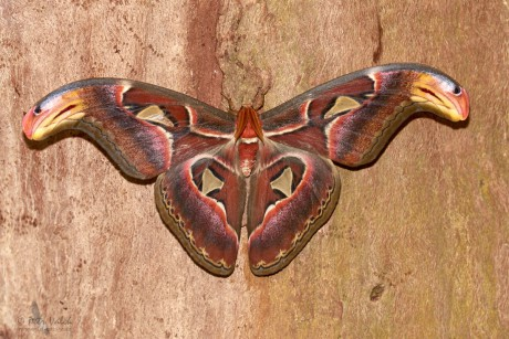 Martináč atlas (Attacus atlas)